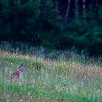 Lynx In The Eastern Carpathians By Zenon Wojtas