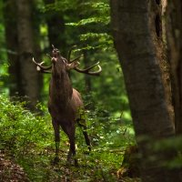 Red Deer Stag In The Eastern Carpathians By Zenon Wojtas