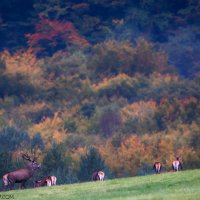 Red Deer In The Eastern Carpathians By Zenon Wojtas