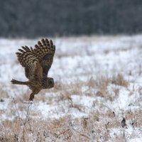 Ural Owl In The Eastern Carpathians By Zenon Wojtas