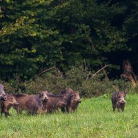 Wild Boar In The Easten Carpathians By Zenon Wojtas