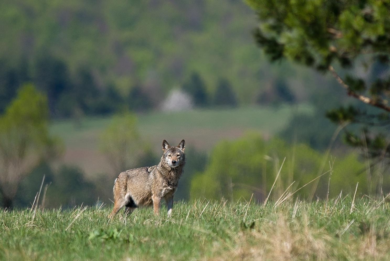 Wolf in the Eastern Carpathians by Zenon Wojtas