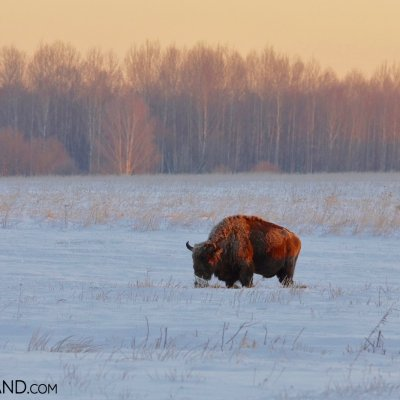 European Bison In Winter Scenery Of Białowieża Forest, Photo By Andrzej Petryna