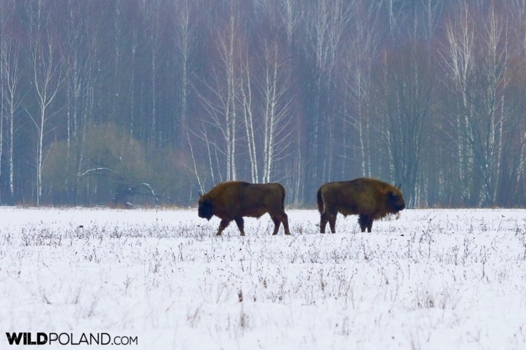 European Bison At Winter, Białowieża Forest, Photo By Andrzej Petryna