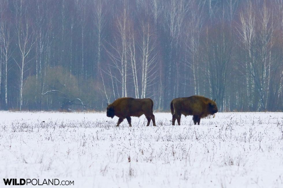 Winter Bison Safari & Wolf Tracking, Jan 2017