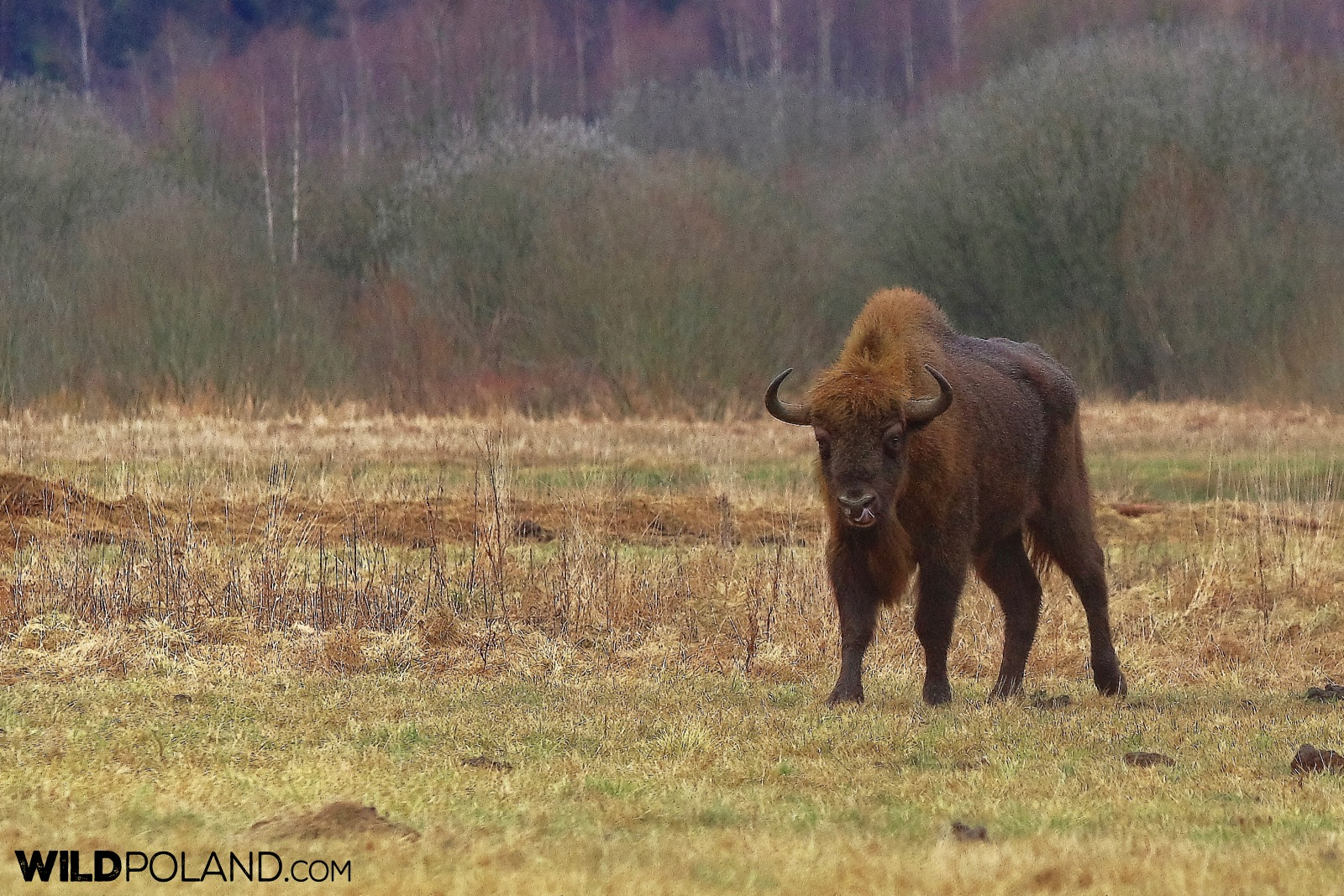 Young bull feeding at the meadow near Białowieża Forest, photo by Andrzej Petryna