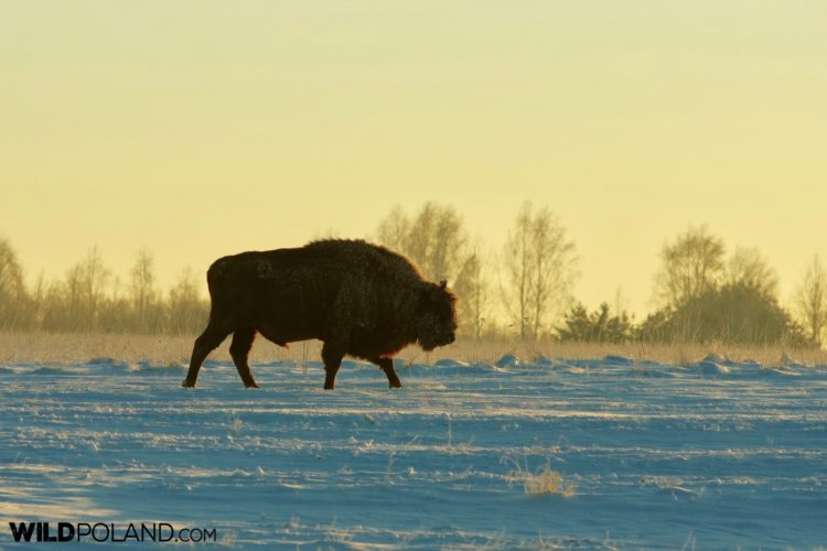Lone Bull Crossing The Meadow Near Bialowieża Forest, Photo By Andrzej Petryna