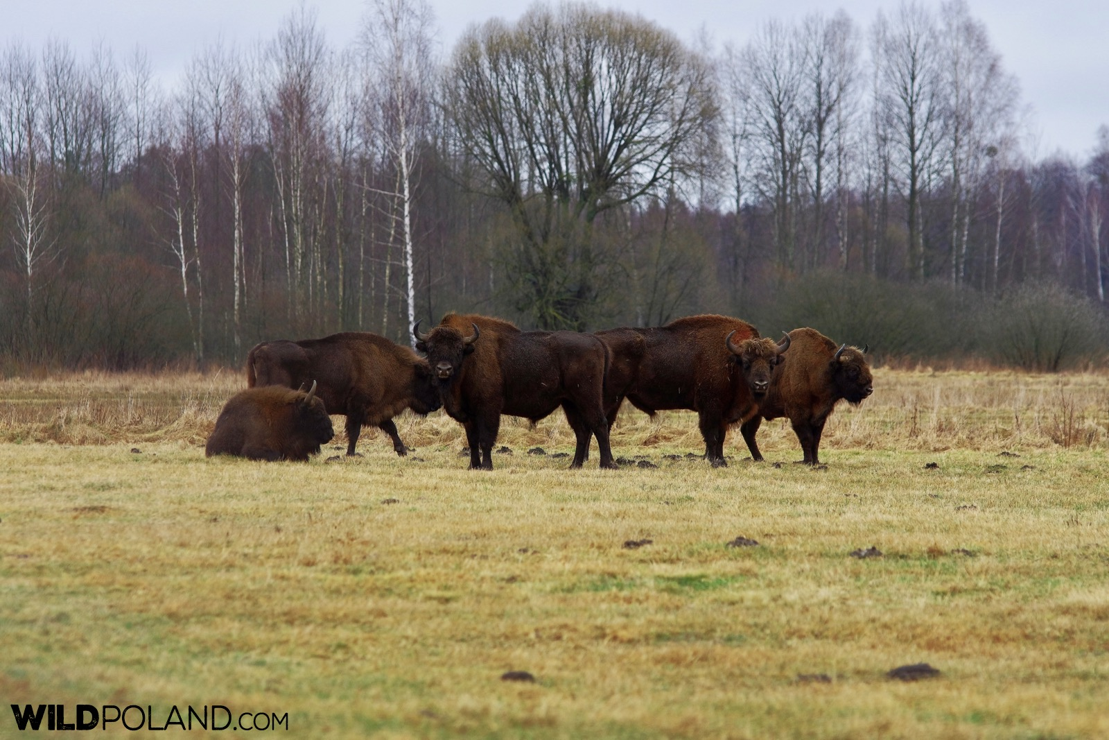 Small group of european bison, Białowieża Forest, photo by Andrzej Petryna
