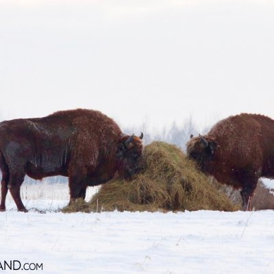 European Bison Feeding At Haystack Near Białowieża Forest, Photo By Andrzej Petryna