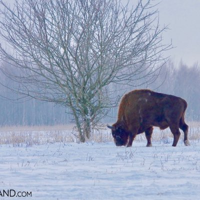 European Bison And Winter Scenery, Bialowieża Forest, Photo By Andrzej Petryna