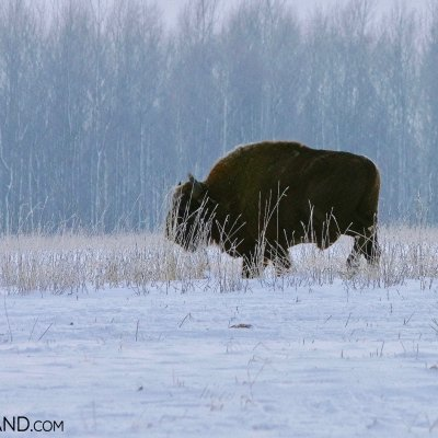 European Bison In Winter Scenery, Bialowieża Forest, Photo By Andrzej Petryna