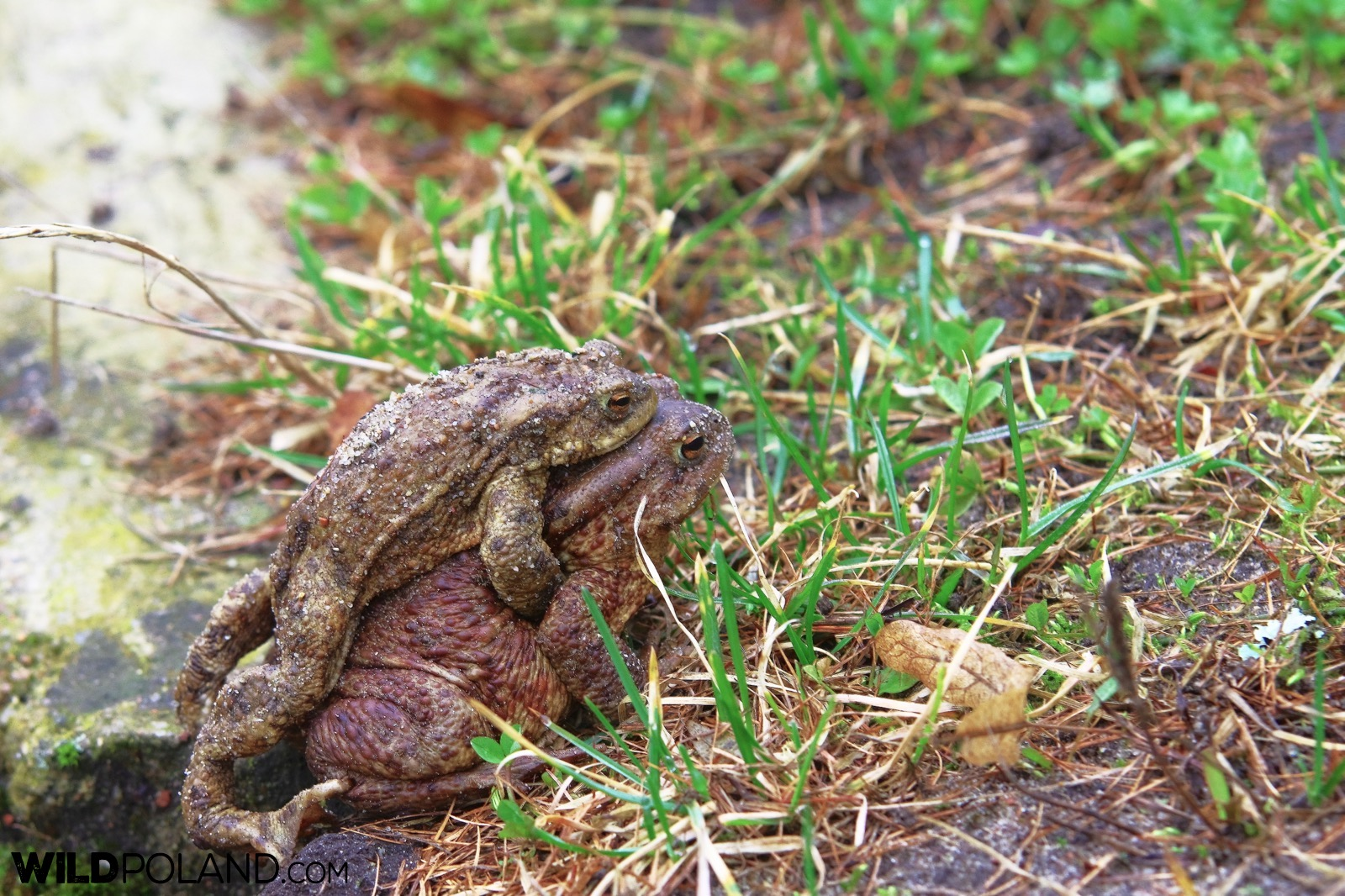 Common toads at springtime, Białowieża Forest, photo by Andrzej Petryna