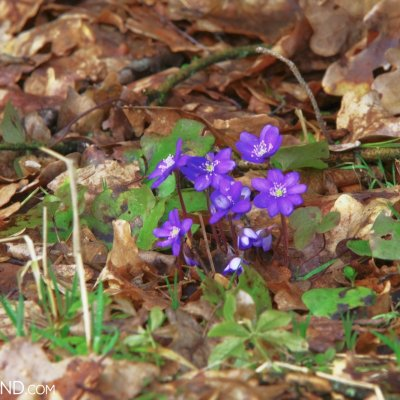 First Blossoms Of Common Hepatica In Białowieża Forest, Photo By Andrzej Petryna