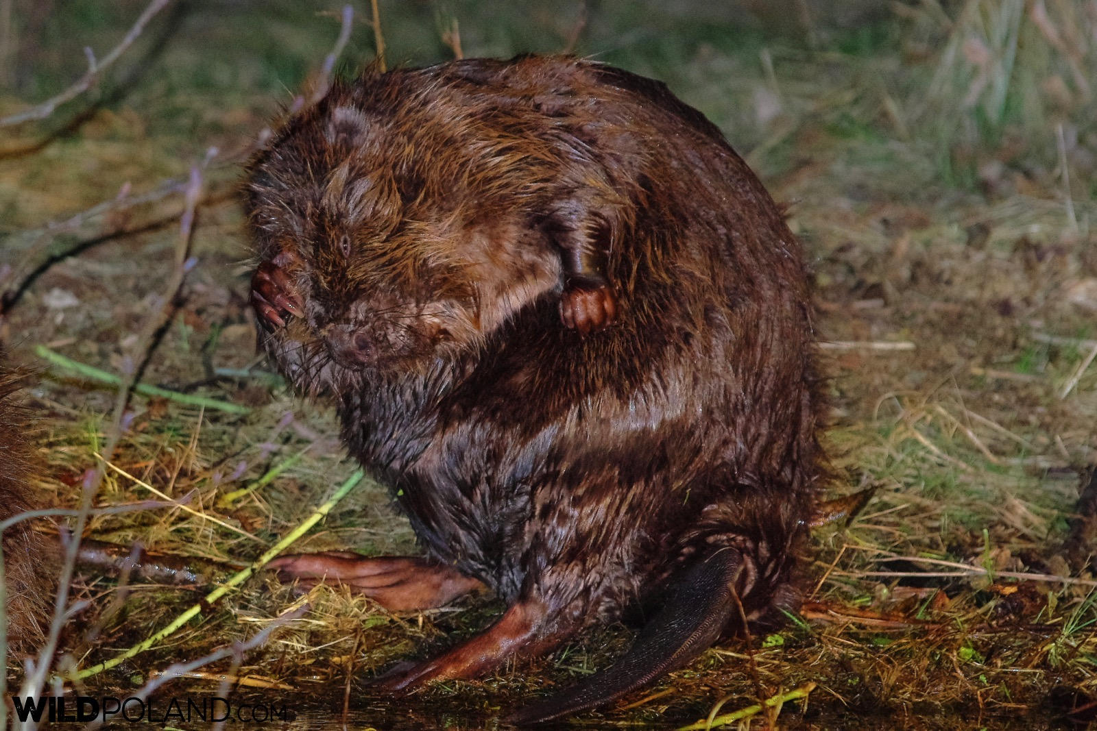Beaver grooming at the bank of the river, Biebrza Marshes, photo by Andrzej Petryna
