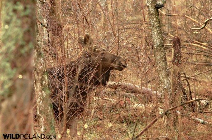 Elk (Moose), Biebrza Marshes, Photo By Andrzej Petryna