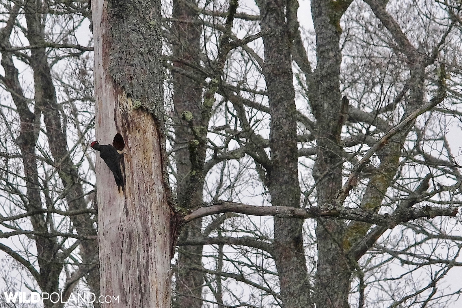 Black Woodpecker at the nest hole in Białowieża Forest, photo by Andrzej Petryna