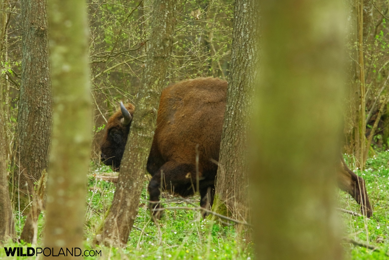 European Bison bull in the Białowieża Forest, photo by Andrzej Petryna