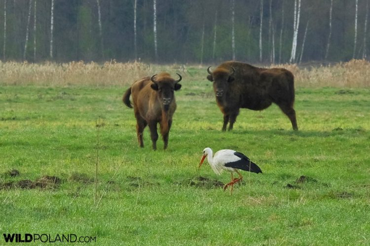 European Bison And White Stork At The Meadow, Białowieża Forest - Photo By Andrzej Petryna
