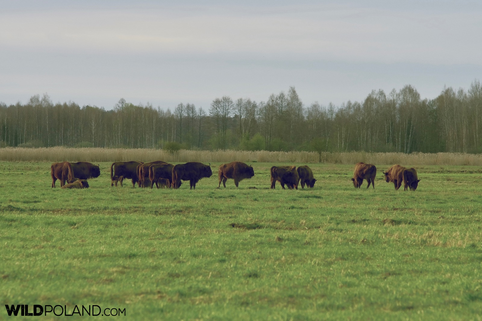Herd of European Bison at the meadow, Białowieża Forest - photo by Andrzej Petryna