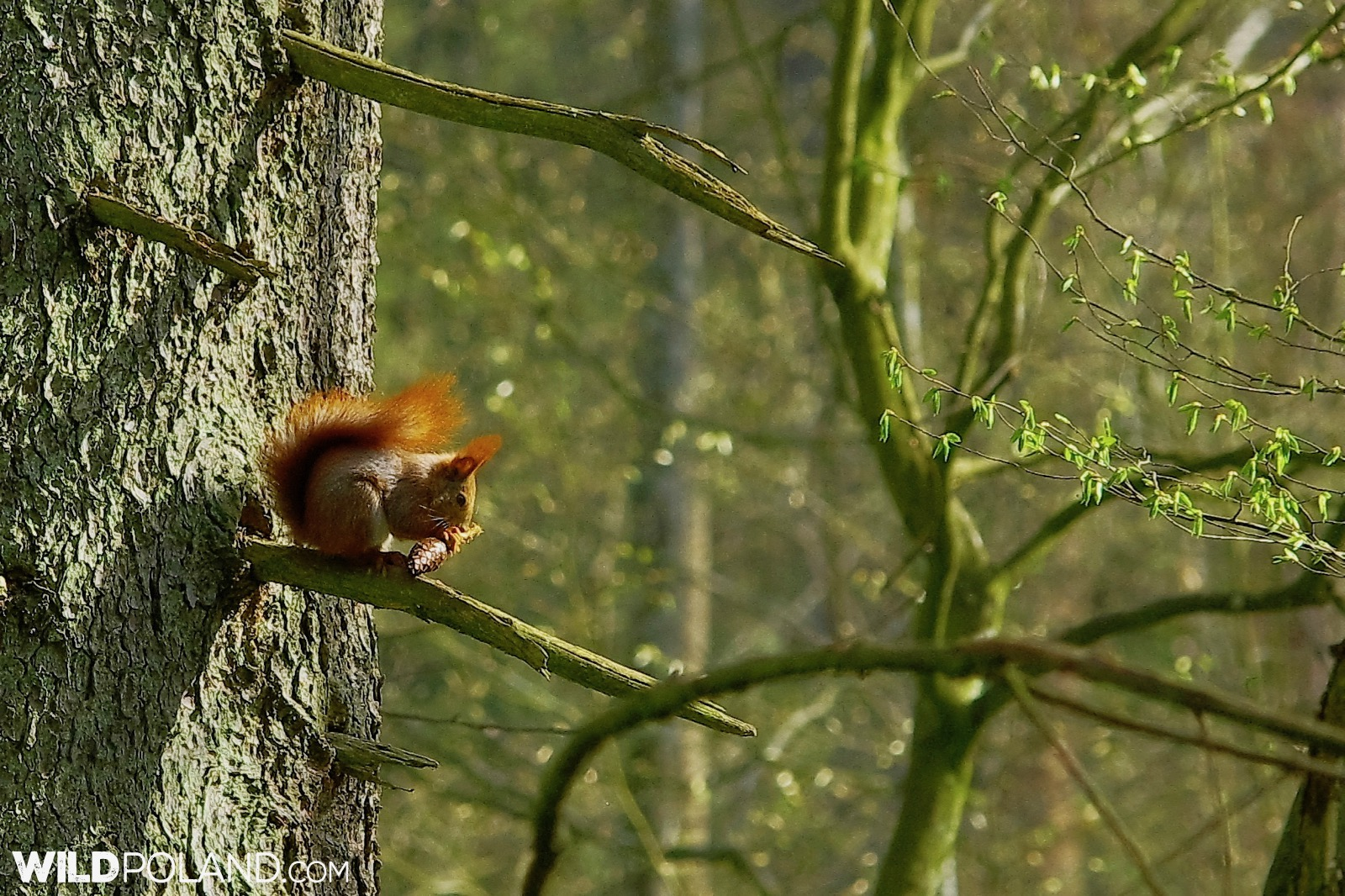 Red Squirrel in the Białowieża Forest, photo by Andrzej Petryna