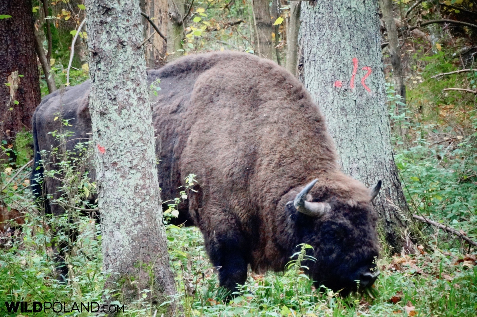 European bison bull at autumn Białowieża Forest, photo by Piotr Dębowski