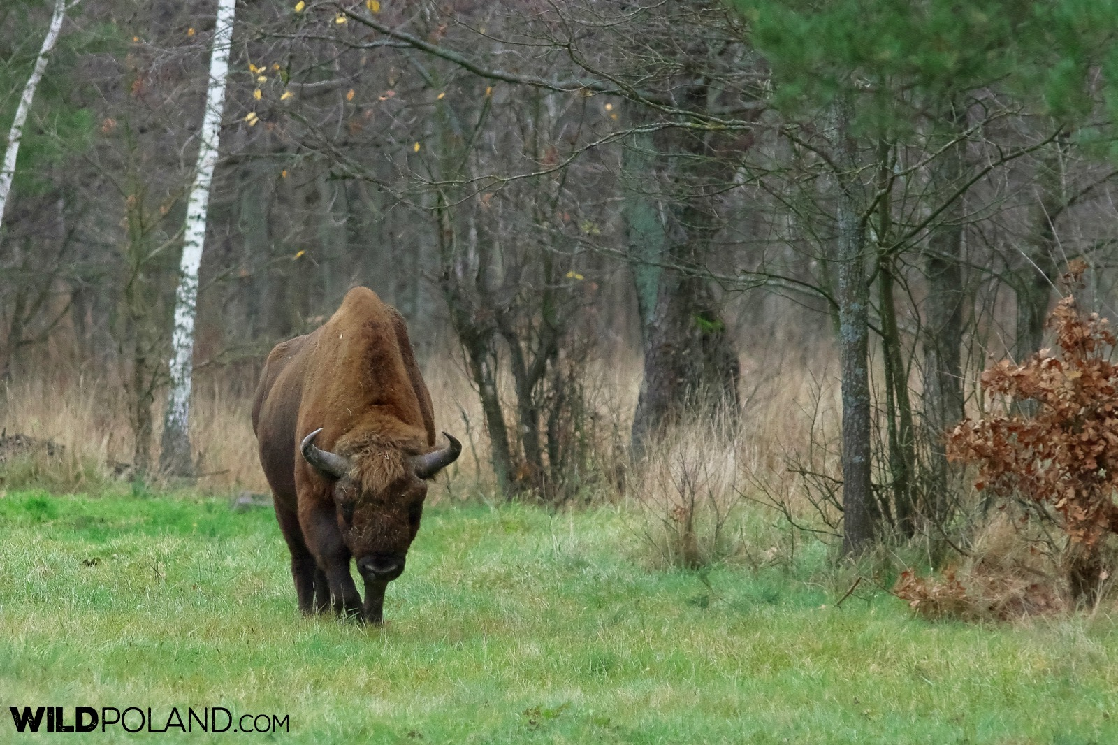 European Bison in the Białowieża Forest, photo by Andrzej Petryna