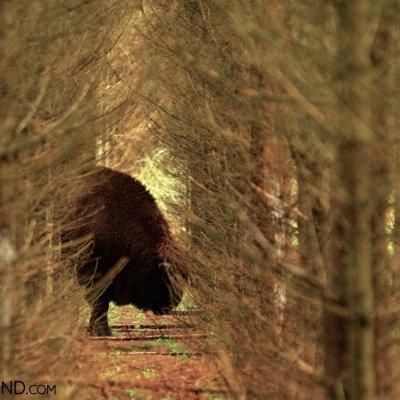 Lone Bison, Białowieża Forest, Photo By Andrzej Petryna