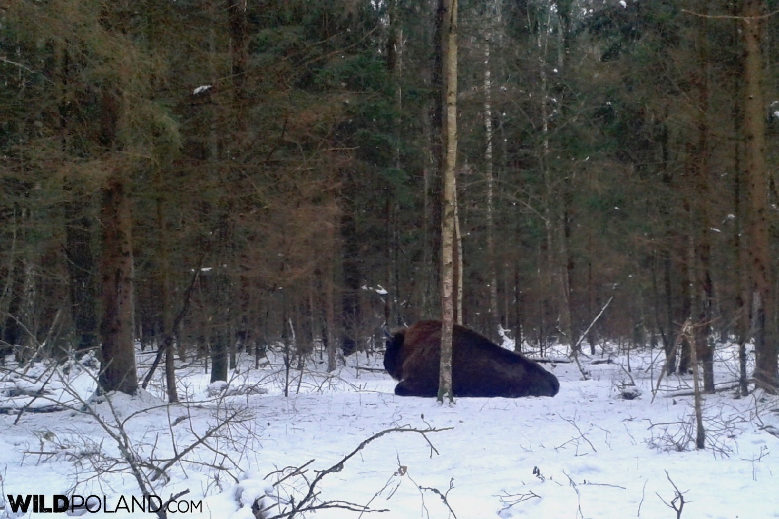 European Bison in the Białowieża Forest, photo by Piotr Dębowski