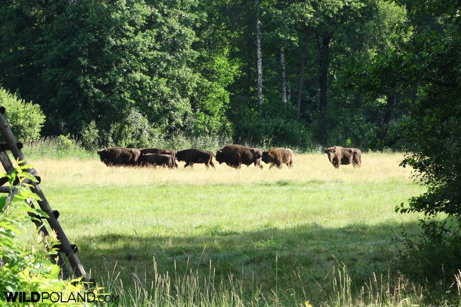 Small herd of european bison at the Białowieża Forest glade, photo by Piotr Dębowski