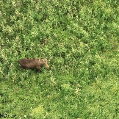 Elk (Moose) At Biebrza Marshes Photographed During Balloon Flight, Photo By Andrzej Petryna