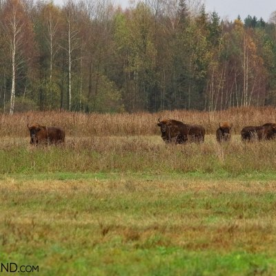 European Bison Herd In Autumn Scenery At The Outskirts Of Białowieża Forest, Photo By Andrzej Petryna