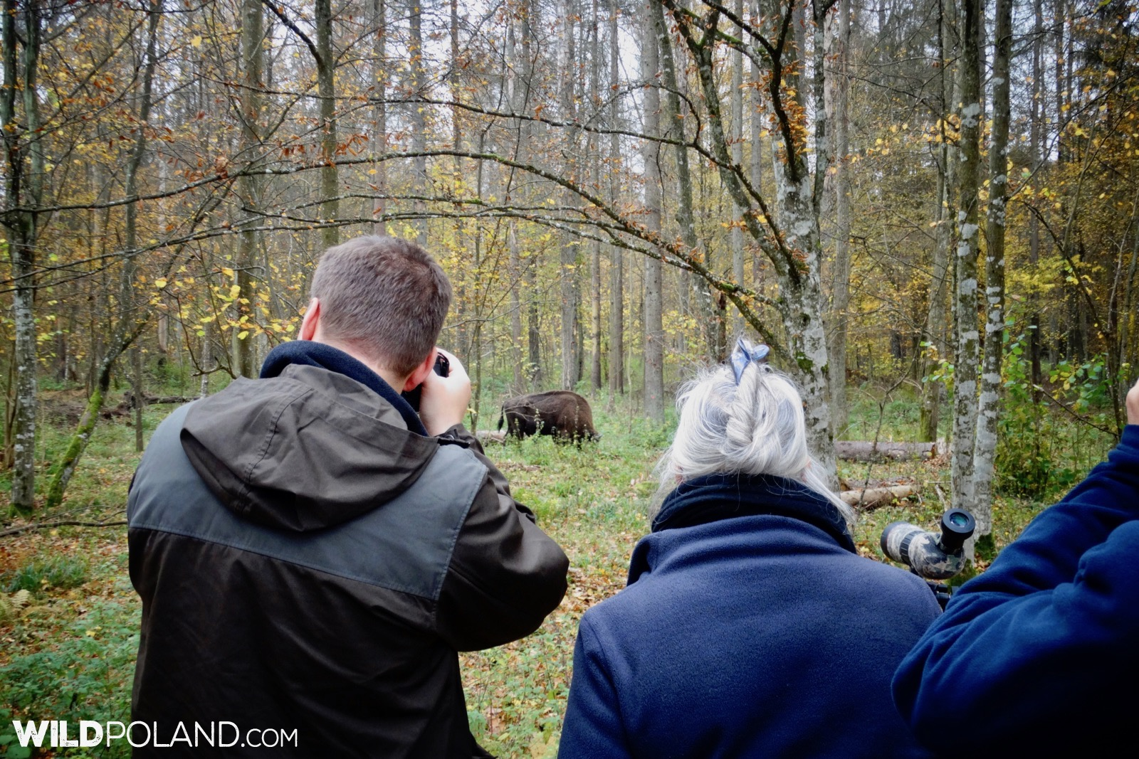 Autumn Bison Safari with Wild Poland, Białowieża Forest, photo by Piotr Dębowski