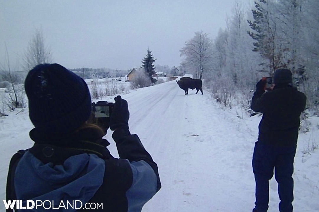 Bison crossing the road near the village, Białowieża Forest, photo by Piotr Dębowski