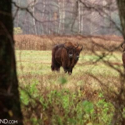 European Bison Herd At The Outskirts Of Białowieża Forest, Photo By Andrzej Petryna
