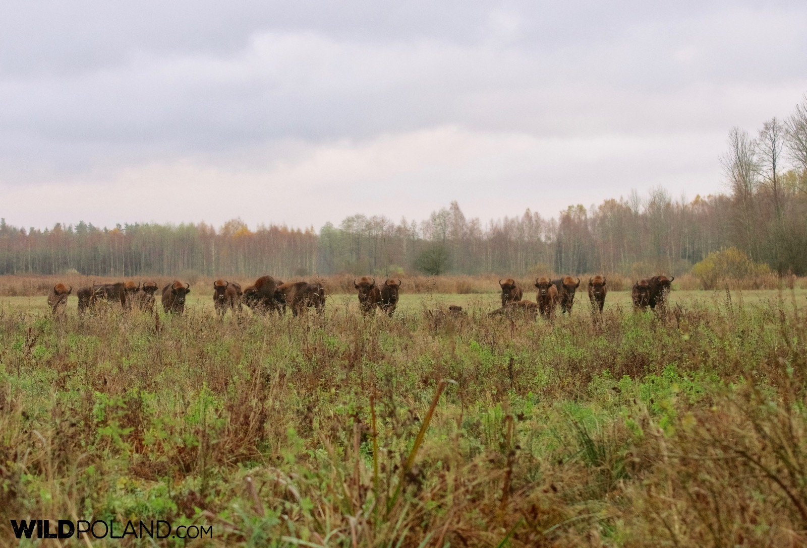 Herd of european bison watching our group, photo by Andrzej Petryna