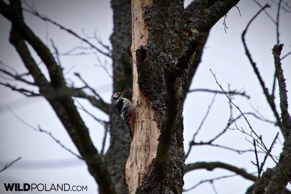 White Backed Woodpecker in the Strict Protection Area of the Białowieski National Park, photo by Lukasz Mazurek