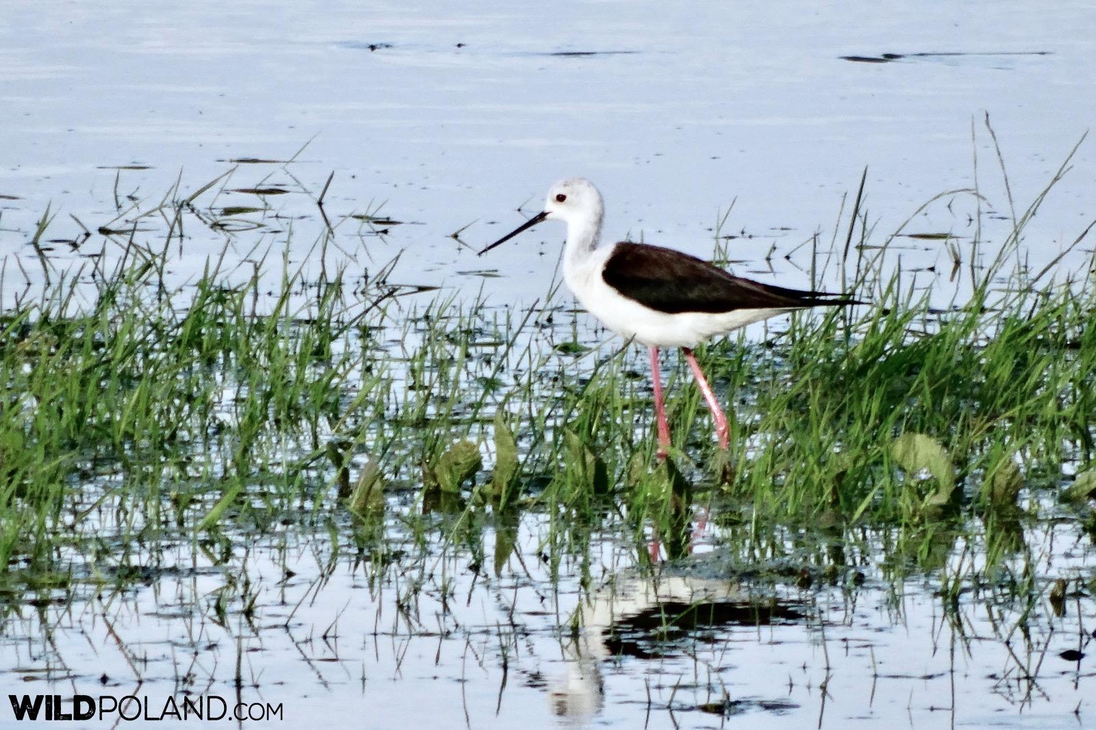 Black winged stilt at Biebrza Marshes, photo by Piotr Dębowski