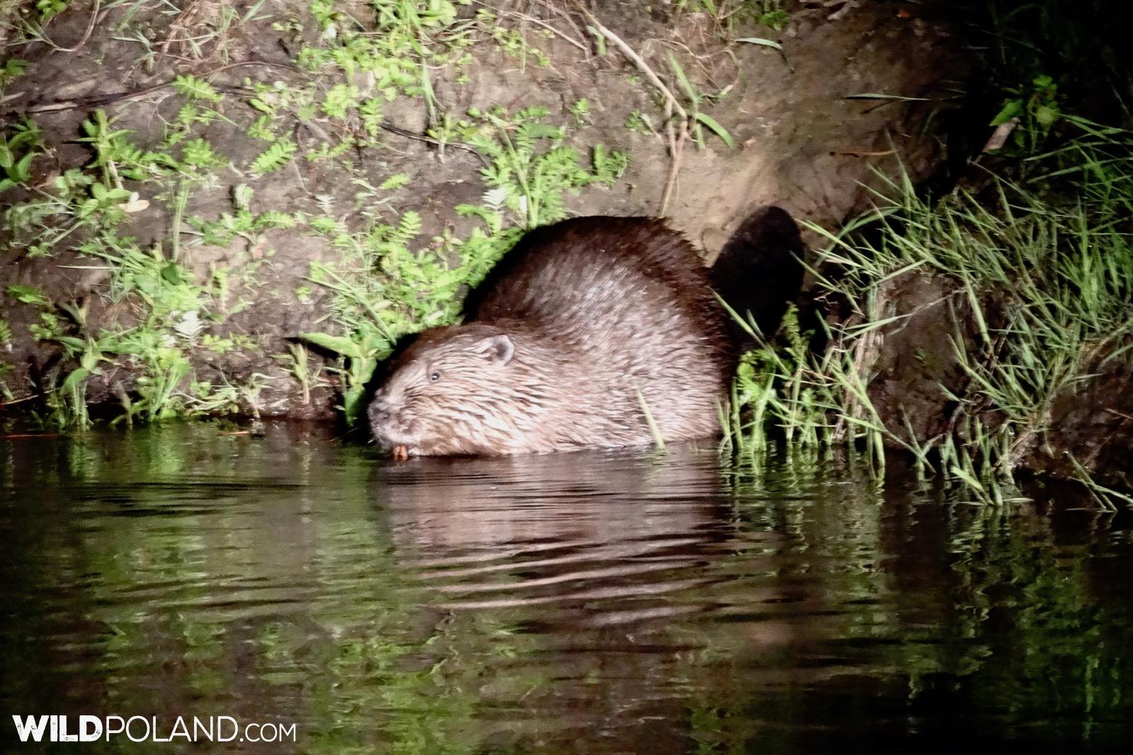 Beaver in a spotlight, photo by Piotr Dębowski