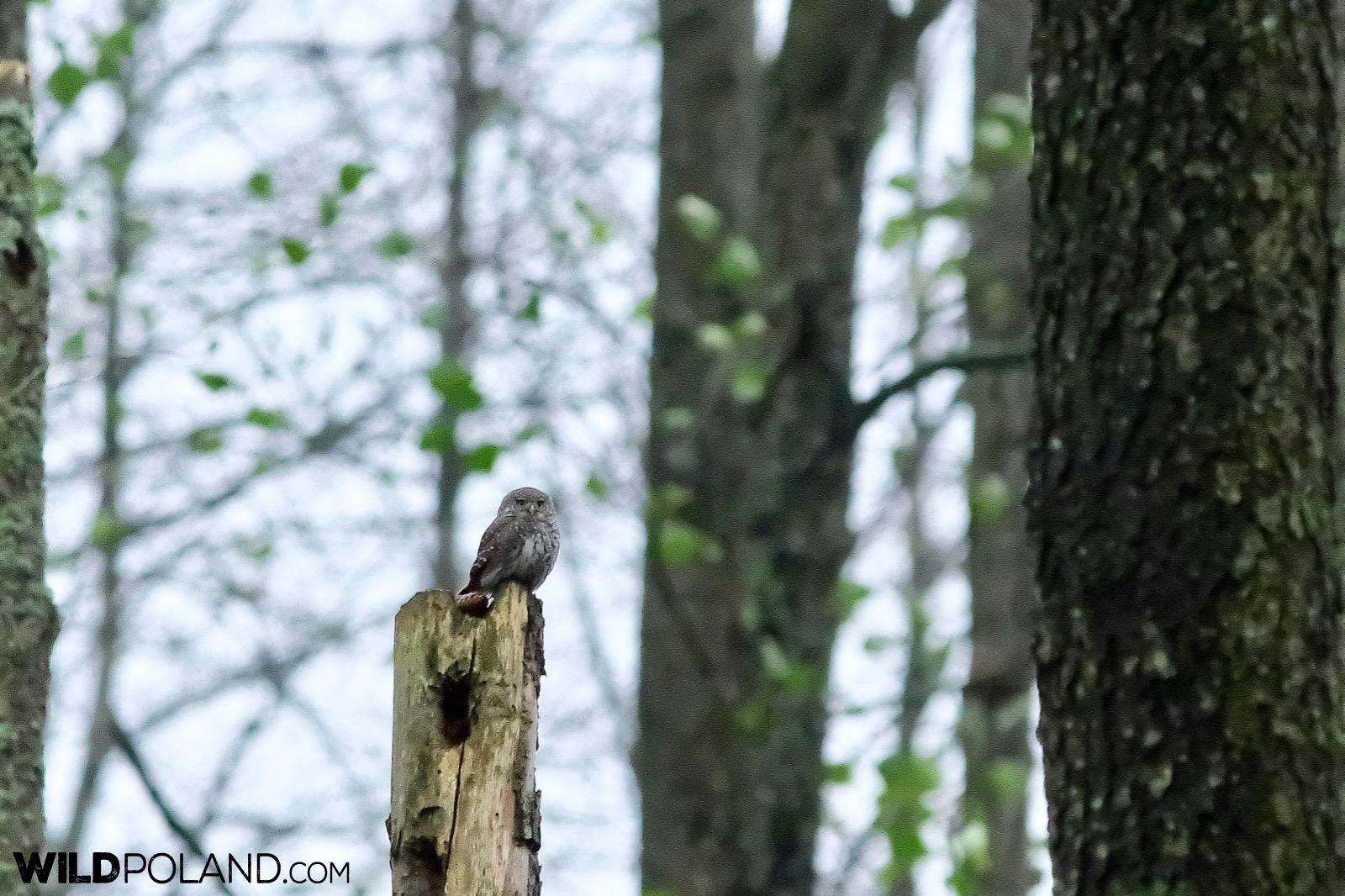 Pygmy owl in Białowieża Forest, photo by Andrzej Petryna