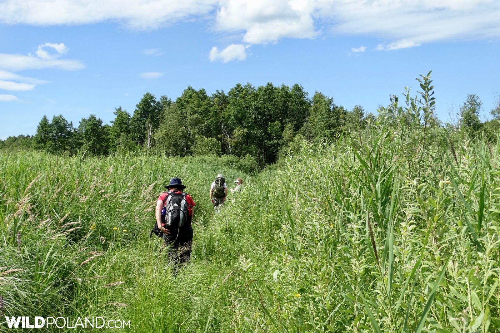 Our group walking through the dense vegetation at Biebrza Marshes, photo by Piotr Dębowski