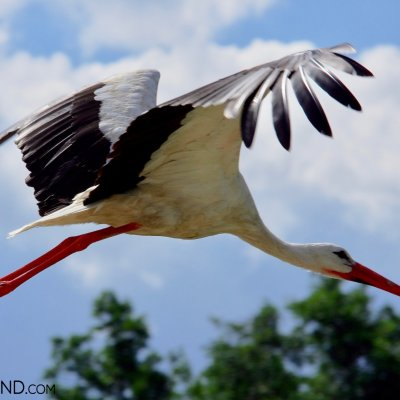 White Stork At Close, Nice Photo Taken During Our Tour To Biebrza Marshes By Andrzej Petryna