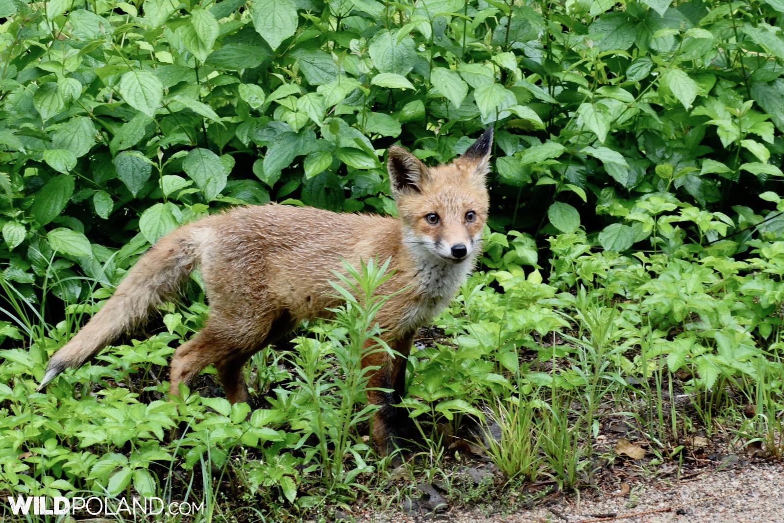 Curious red fox checking on Wild Poland group, photo by Piotr Dębowski