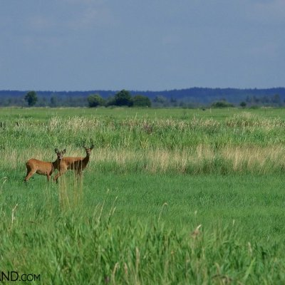 Roe Deer And The Peaceful Summer Landscape, Biebrza Marshes, Photo By Andrzej Petryna