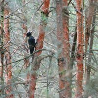 Black Woodpecker In The Białowieża Forest