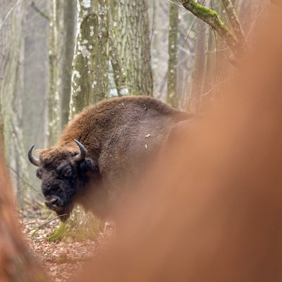 European Bison In The Białowieża Forest, Photo By Frederic Demeuse