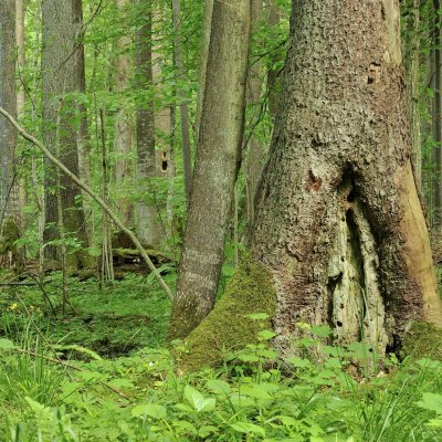 Spring In The Białowieża Forest, Photo By Frederic Demeuse