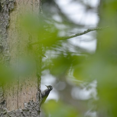 Three-toed Woodpecker In The Białowieża Forest, Spring, Photo By Frederic Demeuse