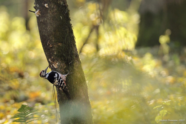 White-Backed Woodpecker In The Białowieża Forest, Photo By Frederic Demeuse