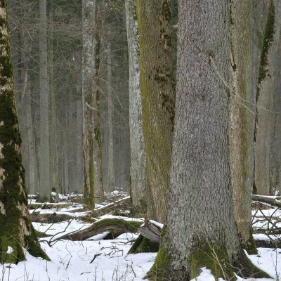 Białowieża Forest In Winter, Photo By Frederic Demeuse