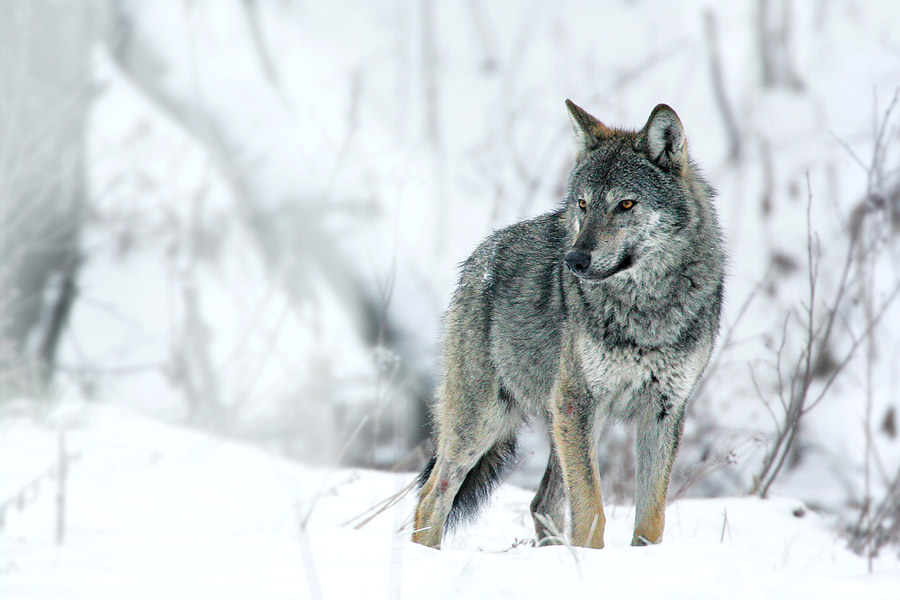 Wolf in winter, Poland by Grzegorz Leśniewski